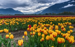 Picture field, clouds, landscape, mountains, yellow, tulips, red, colorful