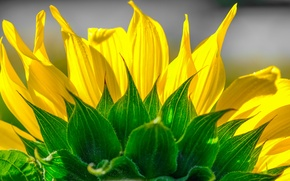 Picture flower, sunflower, petals