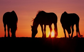 Picture the sun, sunset, horses, the evening, horse, three, Wallpaper from lolita777, grazing