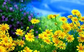 Wallpaper flowers, chamomile, field, yellow