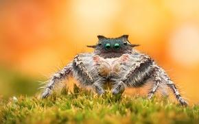 Picture background, spider, jumper
