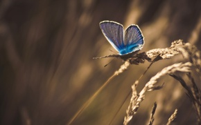 Picture dry, macro, butterfly, treatment, grass, spikelets