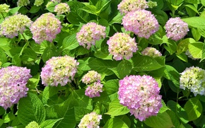 Picture flowering, flowers, hydrangea, Hydrangea