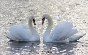 Picture water, love, a couple, swans