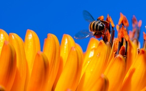 Picture flower, the sky, bee, petals, insect