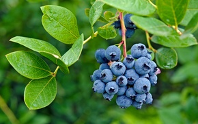 Picture berries, blueberries, fresh, blueberry, berries