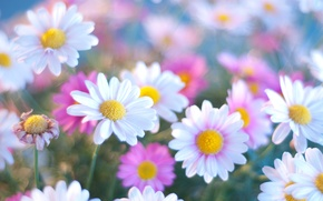 Picture flowers, blue, chamomile