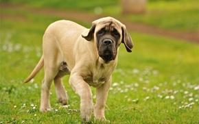 Picture field, dog, walk