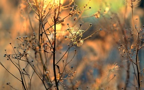 Picture dry, inflorescence, sunlight