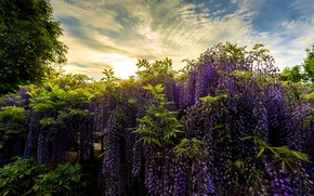 Picture Park, Japan, Japan, Wisteria, Wisteria, Ashikaga Flower Park, Flower Park Ashikaga