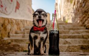 Wallpaper dog, Chihuahua, bottle, doggie, ladder, Coca-Cola, dog, steps, butterfly, joy, language