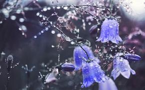 Picture water, drops, macro, flowers, Bells