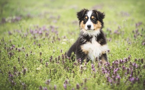 Picture field, flowers, dog, meadow, puppy, Wallpaper from lolita777, Aussie