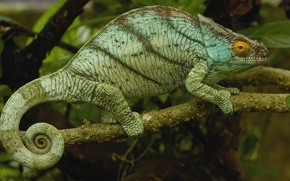 Wallpaper branch, chameleon, Madagascar