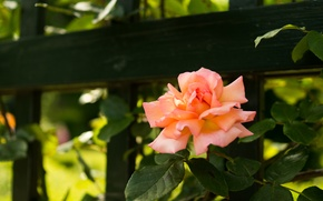 Picture flower, summer, the fence, rose