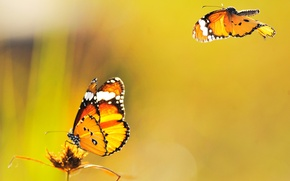 Picture butterfly, yellow, background, fly
