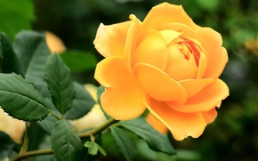 Picture rose, Bud, yellow rose