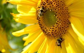 Picture yellow, sunflower, petals, bumblebee
