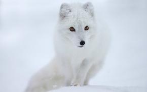 Picture look, snow, muzzle, polar Fox, Fox