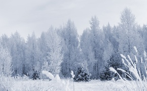 Wallpaper frost, forest, snow, trees, Winter
