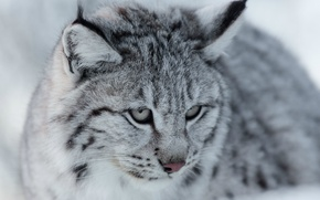 Picture look, portrait, muzzle, grey, lynx, wild cat, Eurasian