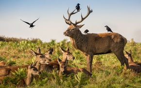 Picture deer, wildlife, crows, family, antlers, red deer