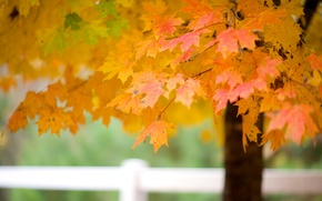 Picture autumn, leaves, tree, branch, maple