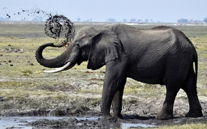 Picture ELEPHANT, DIRT, SHOWER, TRUNK, TUSKS, PUDDLE