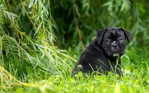 Picture grass, puppy, Verba, IVA, cane Corso