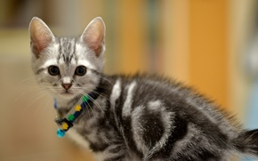 Picture look, muzzle, grey, Cat, baby, collar, kitty