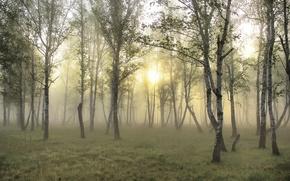 Picture wallpapers, forest, fog, the sun, birch, Wallpaper, grass