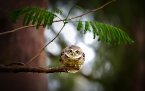 Picture look, leaves, nature, tree, owl, branch, bird, owl, owl