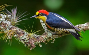 Wallpaper bird, geograpy woodpecker, Brazil, feathers