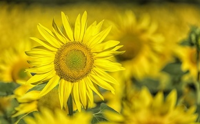 Wallpaper sunflower, background, nature