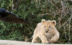 Picture cat, branches, cub, kitty, lion, ©Tambako The Jaguar
