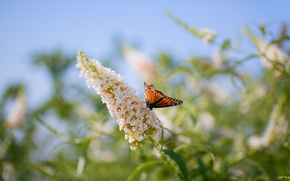 Picture flower, macro, butterfly, plant, blur
