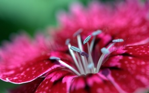 Picture Pink, Red, Flower, Grey, Colors