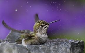 Picture water, drops, macro, bird, Hummingbird