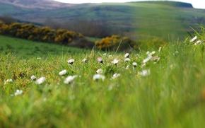 Wallpaper flowers, macro, hills, nature, plants, glade, blur, chamomile, greens, field, summer, grass, spring