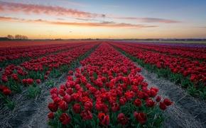 Wallpaper field, flowers, the evening, tulips