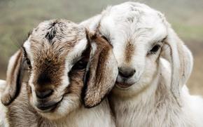 Picture pair, ears, muzzle, goats, goats
