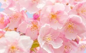 Picture macro, cherry, flowering, flowers