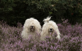 Picture dogs, a couple, Duo, Heather, Bobtail