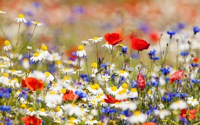 Picture macro, flowers, chamomile, field. nature