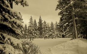 Picture winter, forest, snow, nature, winter, sepia
