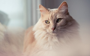 Picture cat, eyes, cat, look, background, portrait, red, soft, gentle, fluffy, peach, feminine