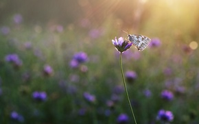 Picture field, rays, flowers, butterfly, meadow, insect
