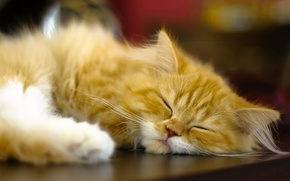 Picture cat, sleep, red, sleeping, Persian cat
