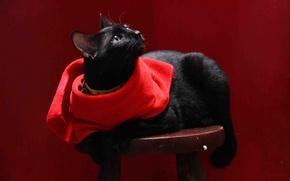 Picture cat, cat, background, black, napkin, stool