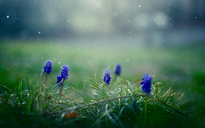 Picture grass, flowers, snowflakes, spring, blue, Muscari